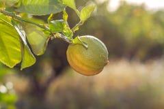 Dojrzenie cytryna na gałąź w świetle słonecznym zdjęcia stock