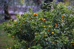 Dojrzenie mandarynki na drzewie Zdjęcie Royalty Free