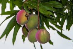 Dojrzenie mango wiesza od drzewa fotografia stock