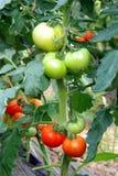 dojrzenie szklarniani pomidory Fotografia Royalty Free