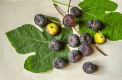 Dojrzewać jagod purpur ciemne figi z ampuła liśćmi i suchą gałązką Fotografia Royalty Free