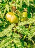 Dojrzewać Zielonych pomidory Obraz Stock
