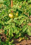 Dojrzewać zielonych pomidory w ogródzie Zdjęcie Stock