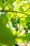 Dojrzewać zielonych winogrona Fotografia Stock