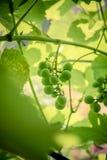 Dojrzewać zielonych winogrona Zdjęcia Stock