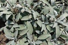 Dojrzewający siwieje zielonego ulistnienie Veronican incana zdjęcie royalty free