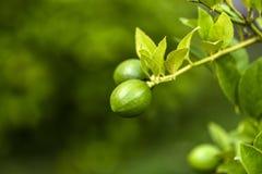 Dojrzewający cytryny drzewo w ogródzie obrazy royalty free