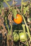 Dojrzewający pomidor na krzaku zdjęcia stock