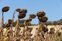 Dojrzewający słoneczniki zdjęcie royalty free