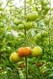 Dojrzewający zielonego pomidoru gromadzi się w szklarni Zdjęcie Stock