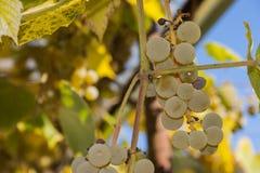 Dojrzewający winogrona Zdjęcia Royalty Free