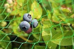 dojrzewanie czarnych jagodowe Obrazy Royalty Free