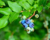 dojrzewanie czarnych jagodowe dziki Fotografia Stock