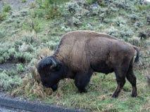 Dokąd bizon Wędruje Obraz Royalty Free