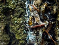 Dokładne spojrzenie przy świeżą żywica kroplą na starym drzewie fotografia stock