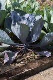 Dokładne spojrzenie przy jarzynowymi roślinami na chałupa ogródzie Obrazy Stock