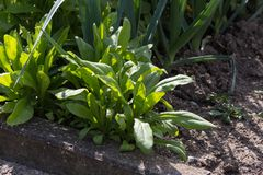 Dokładne spojrzenie przy jarzynowymi roślinami na chałupa ogródzie Obraz Royalty Free