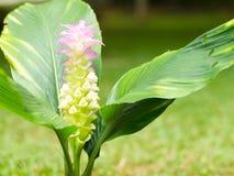 Dok krachiao blooming. Stock Images