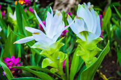 Dok Krachiao fält - orange Siam Tulip Royaltyfri Foto