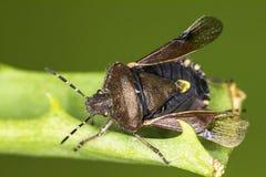 Dok pluskwa (Coreus marginatus) Fotografia Royalty Free