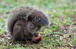 dokrętki śmieszna wiewiórka Zdjęcie Stock