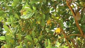 Dokrętki drzewa nerkodrzewu Narastające dokrętki Busuanga, Palawan, Filipiny Obrazy Royalty Free