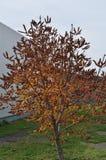 Dokrętki drzewo Fotografia Royalty Free