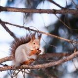 dokrętki wiewiórka Zdjęcia Stock