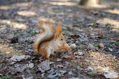 dokrętki wiewiórka Zdjęcie Stock