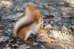 dokrętki wiewiórka Obraz Royalty Free