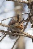 dokrętki wiewiórka Zdjęcia Royalty Free