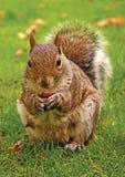 dokrętki wschodnia szara wiewiórka Zdjęcia Royalty Free