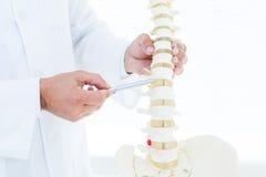 Doktor som visar den anatomiska ryggen med hans penna royaltyfria bilder