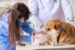 Doktor und Assistent, die herauf golden retriever-Hund im Tierarzt CLI überprüfen lizenzfreies stockfoto