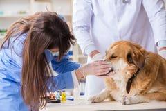 Doktor und Assistent, die herauf golden retriever-Hund im Tierarzt CLI überprüfen lizenzfreie stockfotos