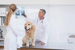 Doktoren, die oben auf einem Labrador überprüfen stockfoto