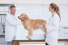 Doktoren, die oben auf einem Labrador überprüfen stockbild