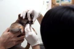 Doktorer undersöker hundtänder Den veterinär- doktorn gör royaltyfria foton