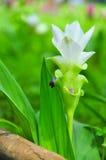 Doku Krajeaw kwiat lub Siam tulipan Obrazy Royalty Free