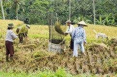 Dokumentalni redakcyjni wizerunków rolnicy zbiera ryż w polach Zdjęcia Stock