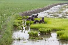 Dokumentarisches redaktionelles Bild Landwirte bauen Reis in der Regenzeit an Sie wurden mit für plantin vorbereitet zu werden ge Stockbild