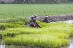 Dokumentarisches redaktionelles Bild Landwirte bauen Reis in der Regenzeit an Sie wurden mit für plantin vorbereitet zu werden ge Stockfotografie