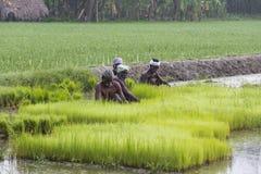 Dokumentarisches redaktionelles Bild Landwirte bauen Reis in der Regenzeit an Sie wurden mit für plantin vorbereitet zu werden ge Lizenzfreie Stockfotos