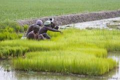 Dokumentarisches redaktionelles Bild Landwirte bauen Reis in der Regenzeit an Sie wurden mit für plantin vorbereitet zu werden ge Lizenzfreies Stockbild