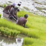 Dokumentarisches redaktionelles Bild Landwirte bauen Reis in der Regenzeit an Sie wurden mit für plantin vorbereitet zu werden ge Lizenzfreie Stockbilder