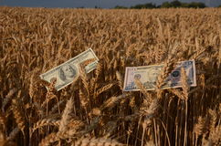 Dolary banknotu pieniądze na dojrzałych pszenicznych ucho w polu Obrazy Royalty Free