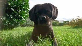 Dolce animale nero Hund dell'animale domestico del cane Fotografia Stock Libera da Diritti