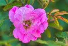 ` Dolce della deriva del ` di Rosa Fotografia Stock