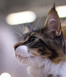 dolce lanuginoso della pelliccia delle orecchie del bello animale domestico sveglio del gatto Immagine Stock