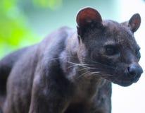 dolce sveglio dell'animale da pelliccia del gatto di fossa della fauna selvatica il bello osserva fotografie stock